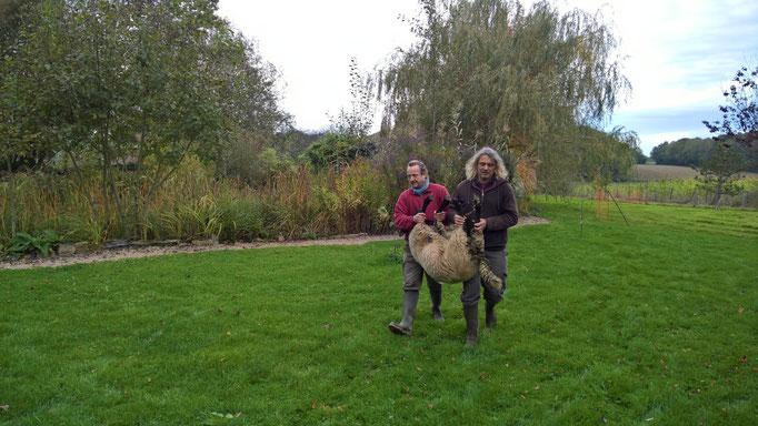 Die Schafe gehen (werden getragen) zurück zu Béatrice