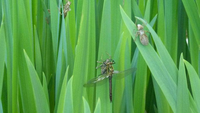 Libellenschlüpftag