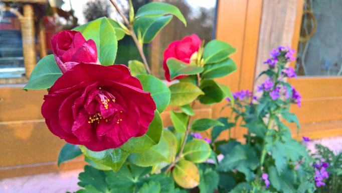 Offene Kamelienblühte
