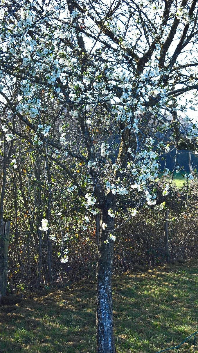 Der Zwetschgenbaum blüht ...
