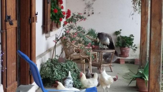 Besuch bei Beatrice und ihren freien Hühnern und dem Pfau