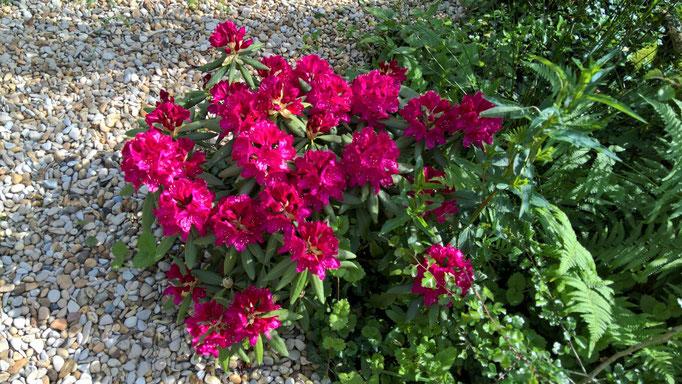 darin wächst ein Rhododendron