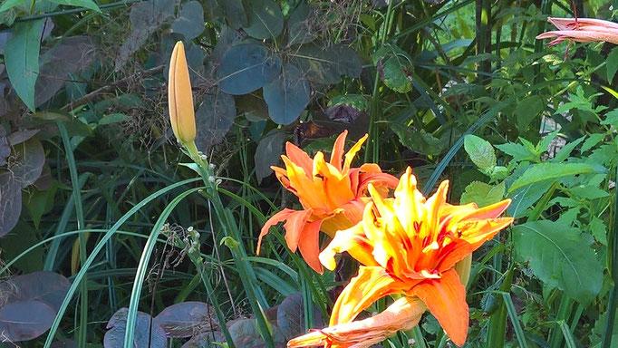 Blühende Taglilien vor dem Perückenstrauch