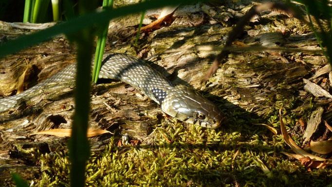 Mein Teichschlange, eine harmlose Ringelnatter