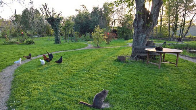 Hühner und Katzen beargwöhnen sich schon noch