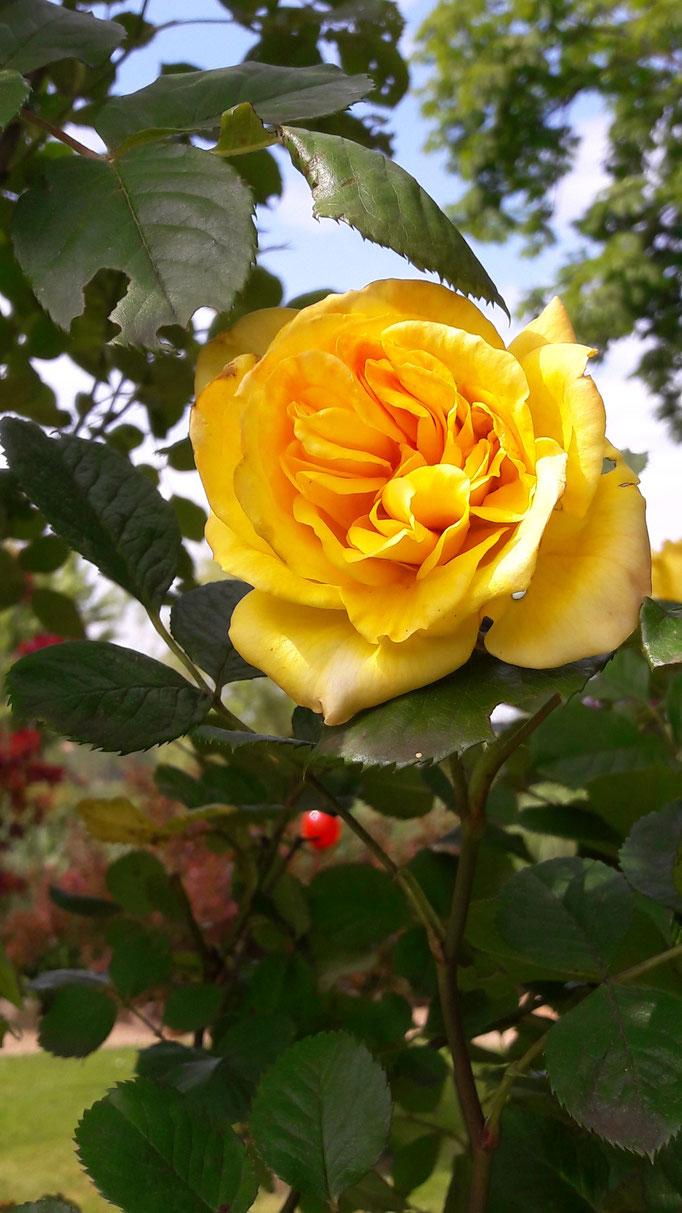 Die gelbe Rose am Rosenspalier zum Gemüsegarten