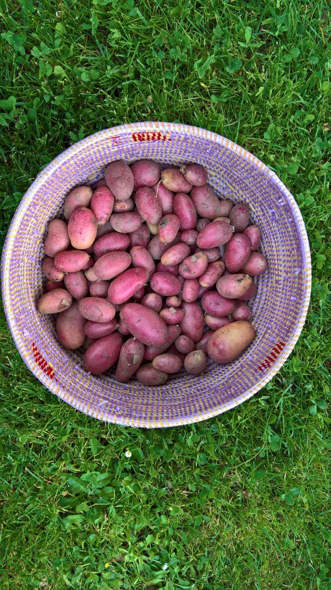 Unsere ersten eigenen Kartoffeln