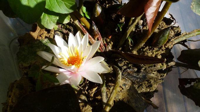 Eine Seerose für Bennos Teich