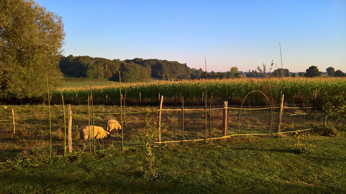Morgenstimmung am Schafsgehege