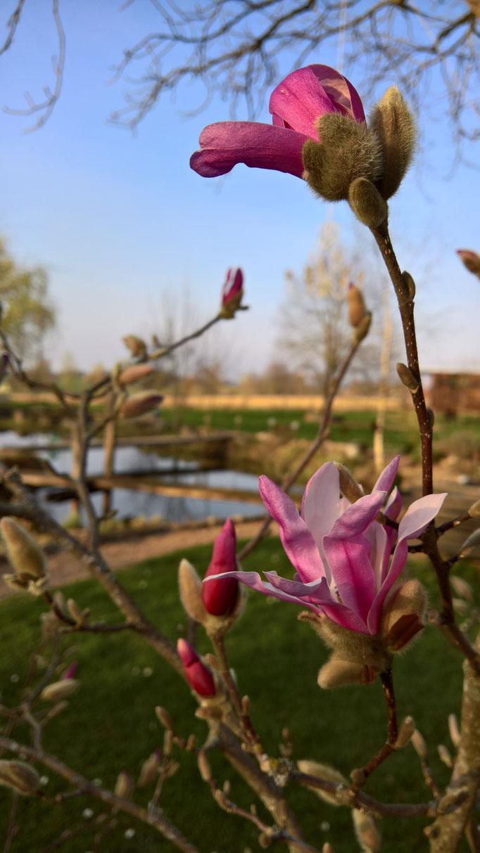 Die Magnolie blüht erst zaghaft