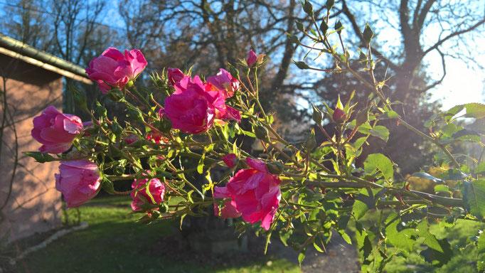 Die letzten Rosen vor dem Frost