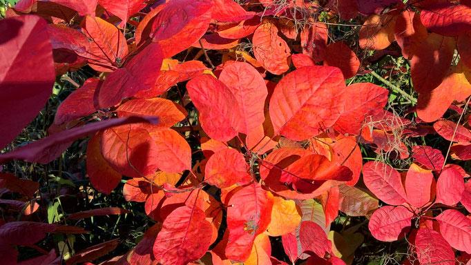 Der Perückenstrauch ist der herrlichste Farbgeber im Herbst