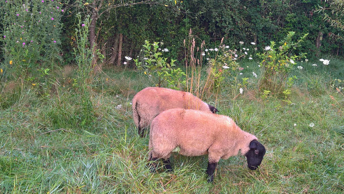 Oskar und Emil sind zwei ganz liebe Schafböcke
