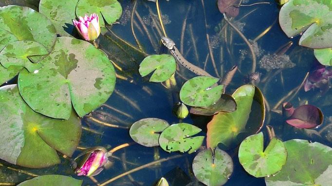 Die Teichschlange auf Lauer