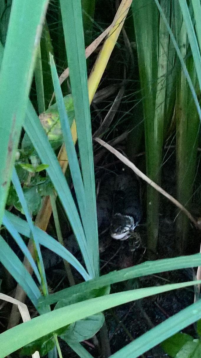 Die Schlange verspeist alle zwei drei Tage einen Frosch