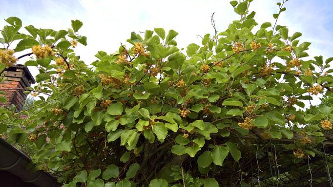 Die Kiwi an der Terrasse wächst und blüht wie verrückt