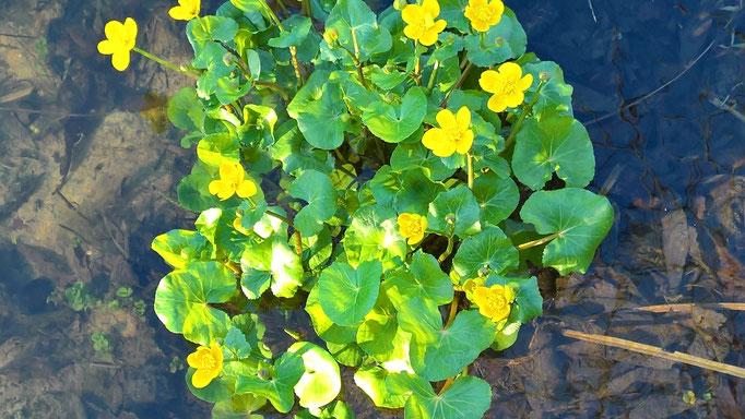 Die erste Blume im Teich: Sumpfdotterblume