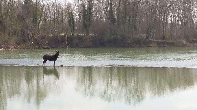ein Esel mitten auf dem Seille-Wehr in Cuisery