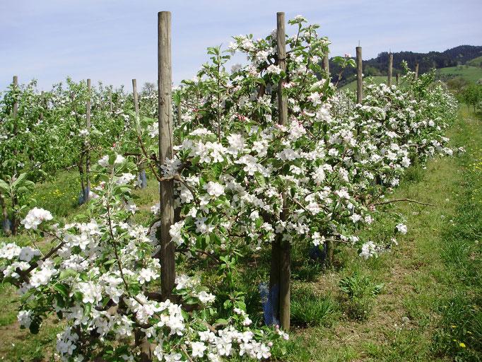 Frühling - blühende Apfelbäume