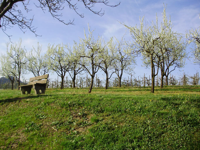 Pflaumenbäume im Frühling
