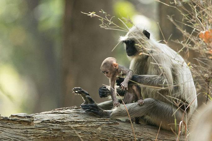 Réserve de Bandhavghar - Bébé Langur ayant des envies d'indépendance