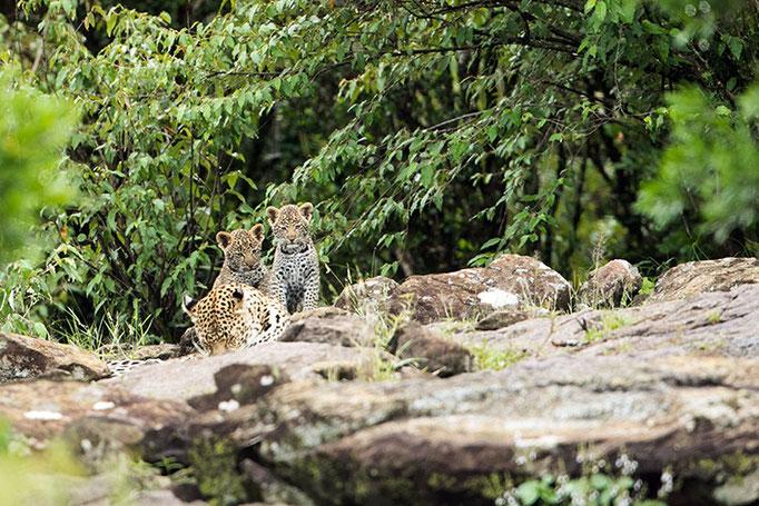 Maasai Mara: Femelle léopard avec ses 2 bébés bien cachés dans les rochers