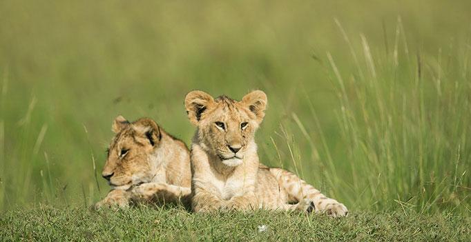Maasai Mara: Lionceaux de 4 mois