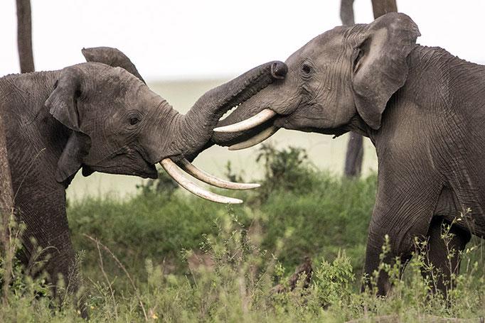 Maasai Mara: Elephant