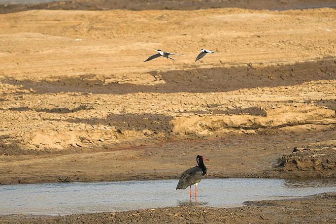 Réserve de Satpura -  Cigogne noire attaquée par des sternes