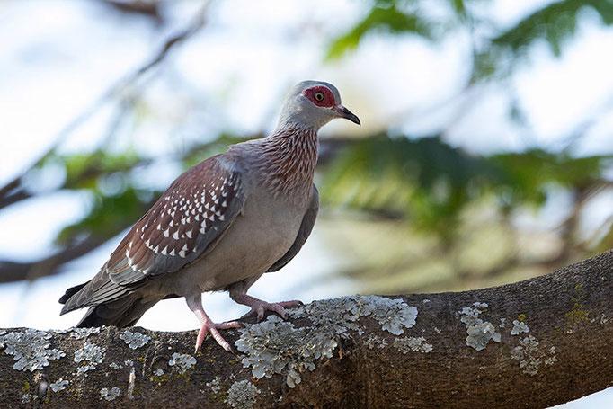 Lac Longano - Pigeon Roussard