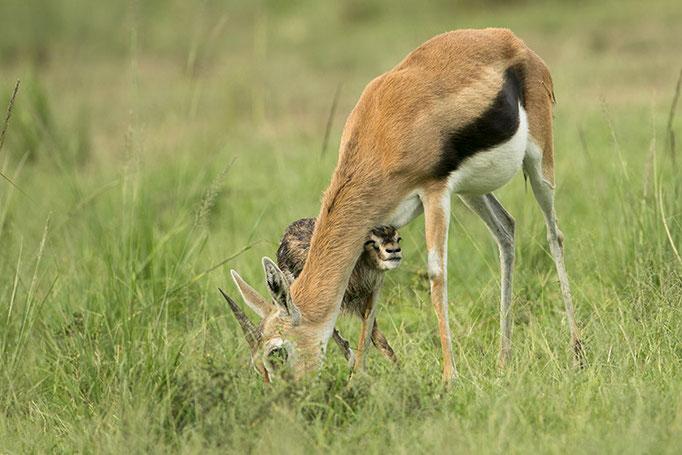Maasai Mara: Jeune Gazelle de Thompson venant de naître