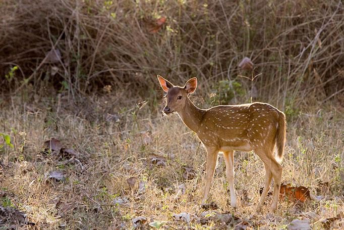 Cerf Axis - Nagarahole National Park (Kabini)