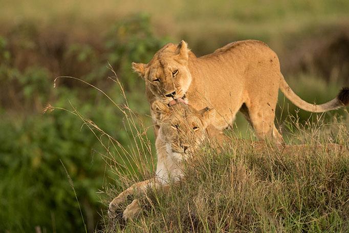 Maasai Mara: pendant ce temps là les mères renforcent les liens familiaux