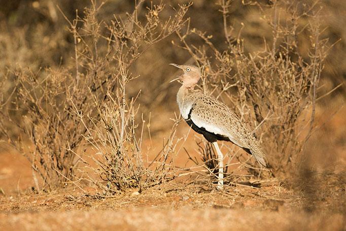 Samburu: Outarde d'Oustalet