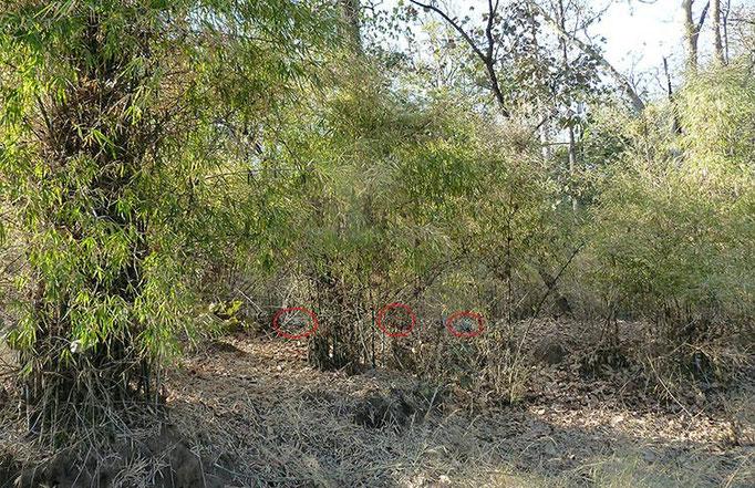 Réserve de Bandhavghar - Les jeunes tigres sont bien cachés dans la végétation...