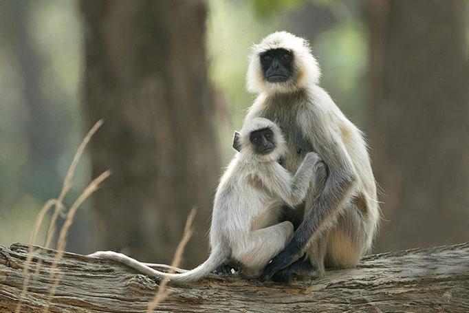Réserve de Bandhavghar - Langurs
