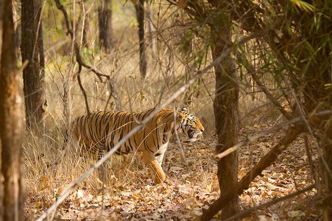 Réserve de Bandhavghar - tigresse