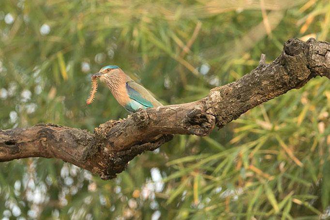 Réserve de Bandhavghar - Rollier Indien dévorant un scolopendre