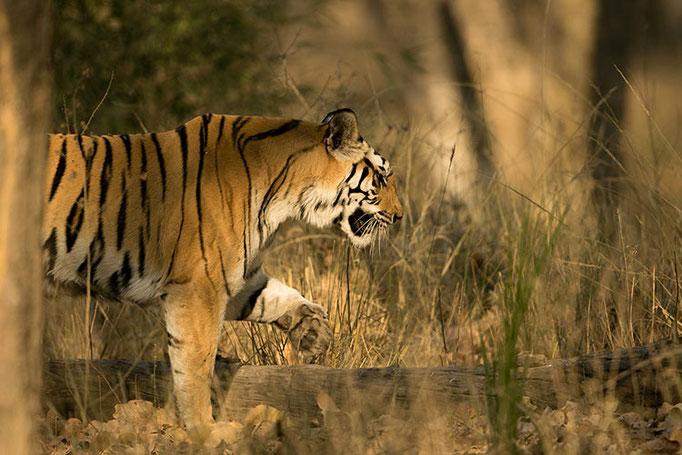 Réserve de Bandhavghar - Tigresse de 4 ans (Dotty)