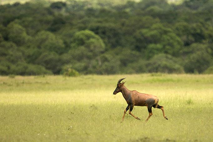 Maasai Mara: Bubale Damalisque