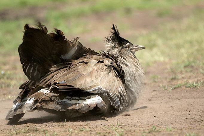 Maasai Mara: Outarde de Kori male prenant un bain de poussière