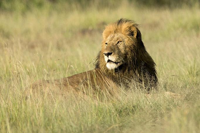 Maasai Mara: Lion