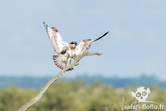 Balbuzard Pêcheur - Réserve Ornithologique du Teich