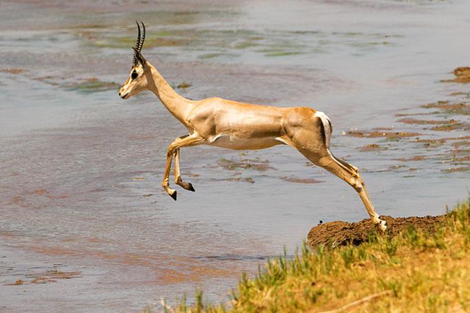 Samburu: Gazelle de Grant