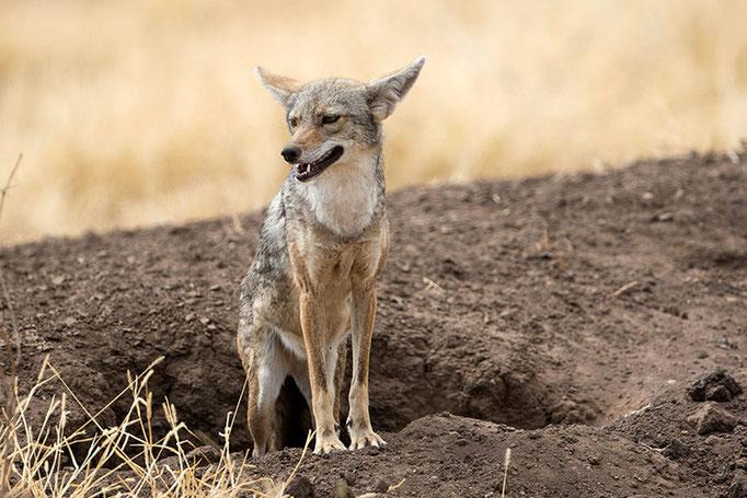 Allideghi Wildlife Reserve - Chacal