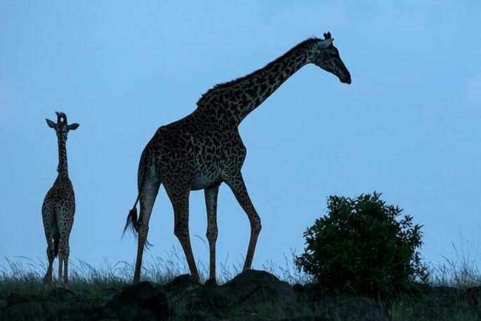 Maasai Mara: Girafes Masai à l'heure bleue