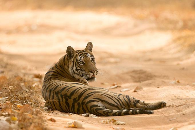 Réserve de Bandhavghar - Tigresse de 4 ans