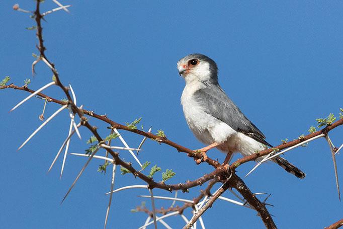Samburu: Faucon Pigmé