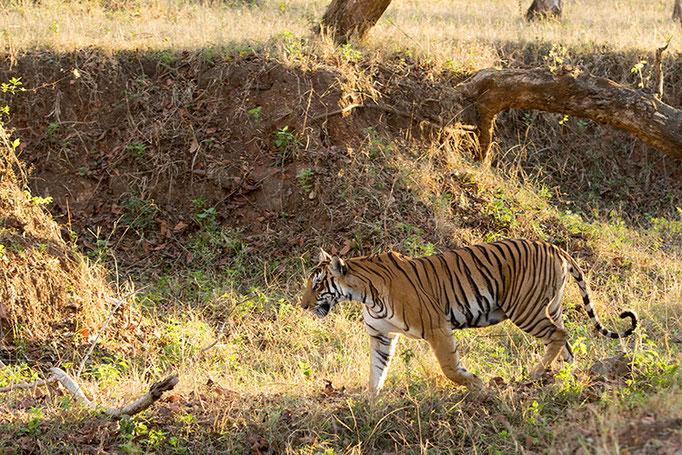 Tigre - Nagarahole National Park (Kabini)