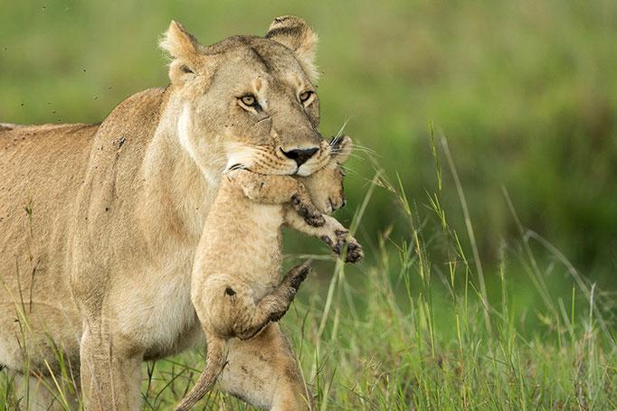 Maasai Mara: cette jeune femelle inexpérimentée ne sait pas très bien ou cacher ses petits